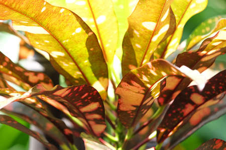 Closeup leafs of Croton plant, green and yellow color, with sunlight and shadow Foto de archivo