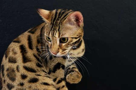 Bengal cat with leopard spot pattern on black background Foto de archivo