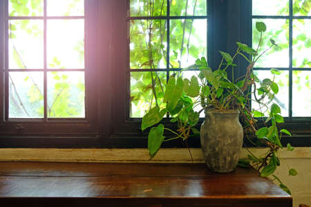 Golden pothos or Epipremnum aureum or Devil's ivy in the old jar on wood table closed to the window Foto de archivo