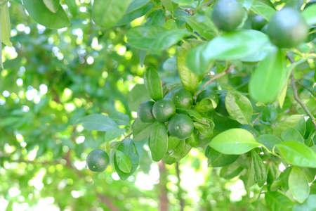 Calamansi fruit blossom on green fresh lemon trees