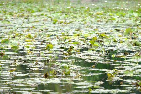 Natural pool of fresh green lotus in water Foto de archivo