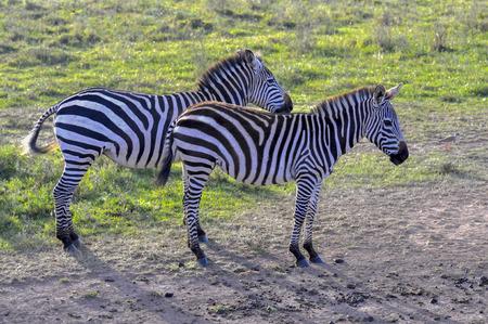 Zebras in the Masai Mara, Kenya. 写真素材