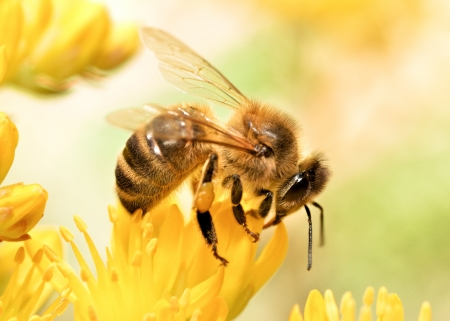 pollinators: Honey bee collecting pollen
