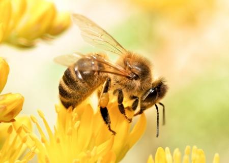 Honingbij verzamelen van stuifmeel