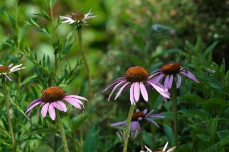 echinacea purpurea: Echinacea purpurea in the countryside