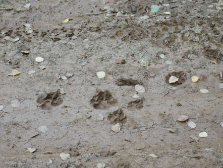 Coyote tracks follow a nearby rabbit trail telling the story of a daily harrowing tale in the forests of north Idaho.
