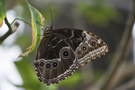 Butterfly 2017-28  Butterfly hangs on a leaf