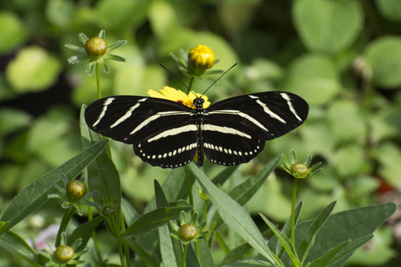 Butterfly 2017-41  Zebra striped long-wing on flowers