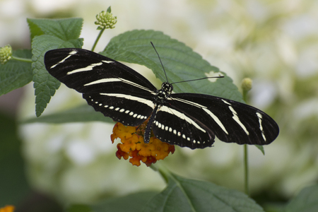 Butterfly 2017-56  Zebra striped longwing on flowers Stock Photo