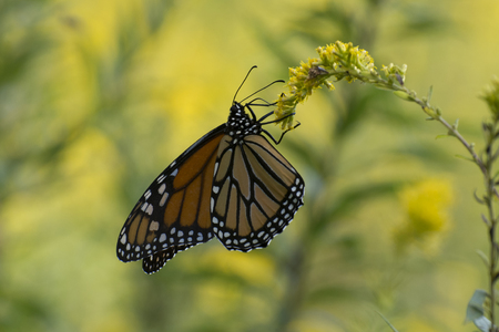 Butterfly 2017-138  Monarch on goldenrod