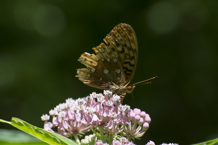Common butterfly on flowers