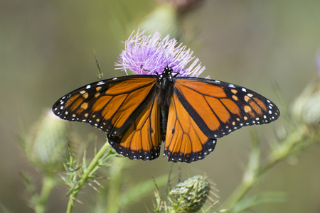 Butterfly Monarch butterfly on thistle Foto de archivo