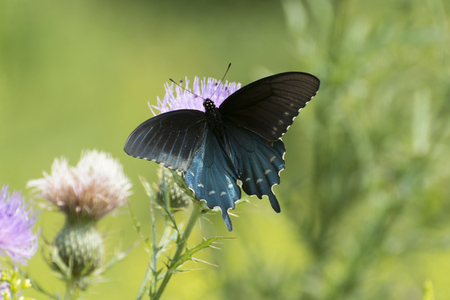 Butterfly Black swallowtail on thistle
