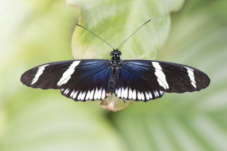 Butterfly 2019-26 / Sara Longwing - Heliconius sara