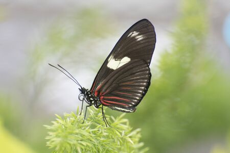 Butterfly 2019-56 / Sara Longwing (Heliconius sara) Archivio Fotografico