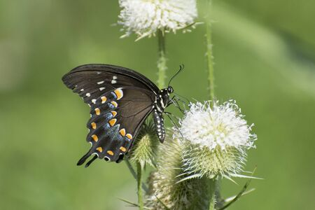 Butterfly 2019-101  Spicebush Swallowtail (Papilio Troilus)