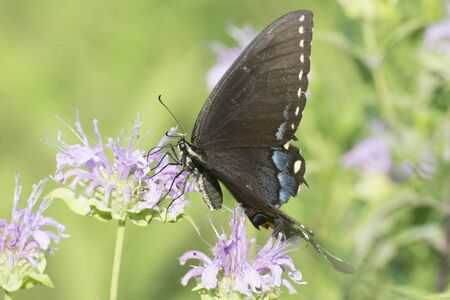 Butterfly 2019-107  Black Female Tiger Swallowtail  (Papilio glaucus)