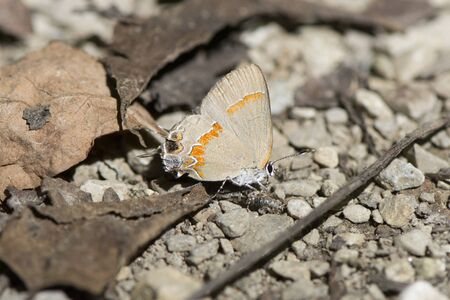 Butterfly 2019-108  Red-banded Hairstreak (Calycopis cecrops)