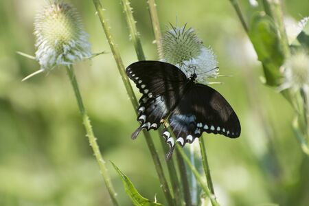 Butterfly 2019-109  Spicebush Swallowtail (Papilio Troilus)