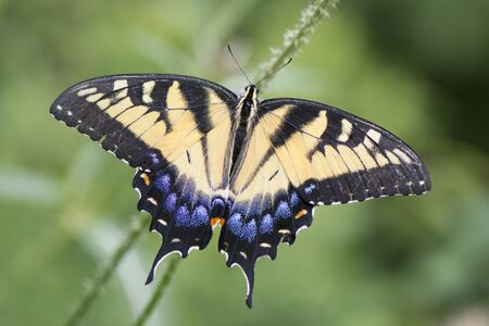 Butterfly 2019-110  Tiger Swallowtail (Papilio glaucus)
