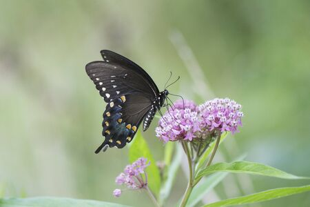 Butterfly 2019-115  Spicebush Swallowtail (Papilio Troilus)