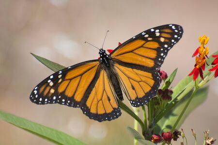 Papillon 2019-126 / Papillon monarque (Danaus plexippus)
