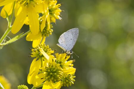 Butterfly 2019-132  Common blue butterfly (Polyommatus icarus) on flowers
