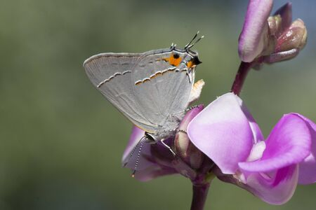Butterfly 2019-133  Red-banded Hairstreak (Calycopis cecrops) Zdjęcie Seryjne