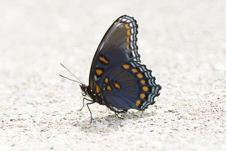 Butterfly 2019-136  Red-spotted Purple Admiral (Limenitis arthemis)