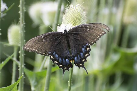 Butterfly 2019-140  Black Female Tiger Swallowtail  (Papilio glaucus)