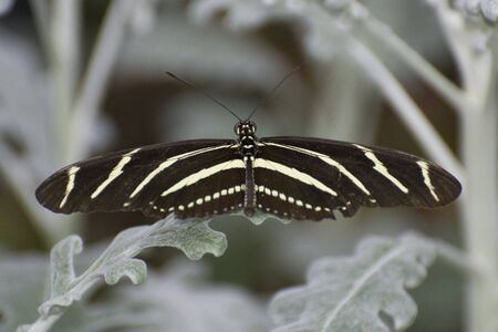 Butterfly 2019-141  Zebra Longwing (Heliconius charithonia) On Dusty Miller Plant