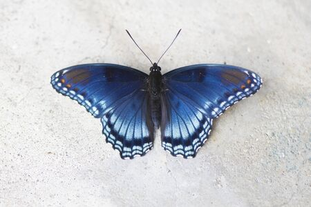 Butterfly 2019-145  Red-spotted Purple Admiral (Limenitis arthemis)