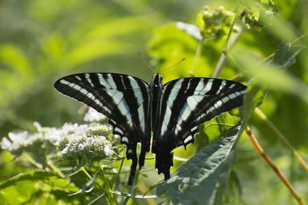 Butterfly 2019-147  Zebra Swallowtail (Eurytides marcellus)