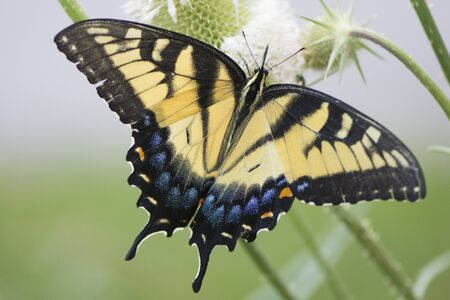 Butterfly 2019-154  Tiger Swallowtail (Papilio glaucus)