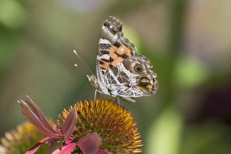 Butterfly 2019-157  Painted Lady - Vanessa Cardui
