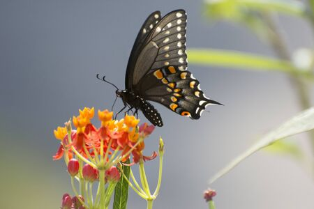 Butterfly 2019-158  Spicebush Swallowtail (Papilio Troilus)