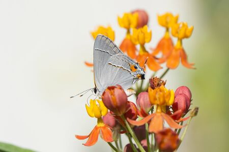 Butterfly 2019-167  Red-banded Hairstreak (Calycopis cecrops)