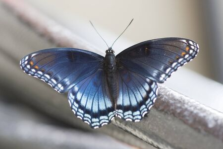 Butterfly 2019-169  Red-spotted Purple Admiral (Limenitis arthemis)