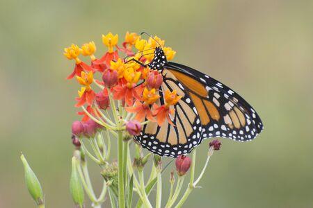 Papillon 2019-155 / Papillon monarque (Danaus plexippus) Banque d'images