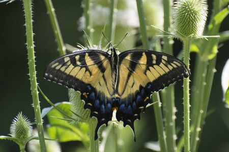 Butterfly 2019-162  Tiger Swallowtail (Papilio glaucus)