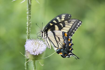 Butterfly 2019-171 / Tiger Swallowtail (Papilio glaucus)
