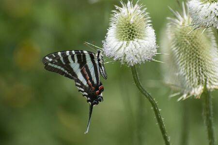 Butterfly 2019-175  Zebra Swallowtail (Eurytides marcellus)