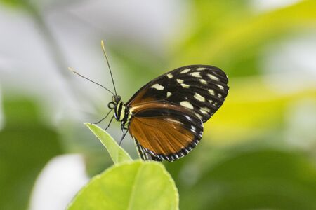 Butterfly 2019-179  Tiger Longwing (Heliconius Hecale) Zdjęcie Seryjne