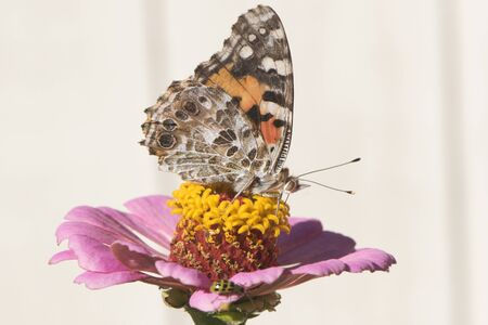 Butterfly 2019-180  Painted Lady - Vanessa Cardui
