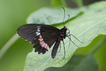 Butterfly 2019-186  Red-sided swallowtail (Mimoides Phaon)