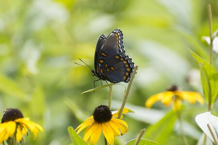 Butterfly 2019-187  Red-spotted Purple Admiral (Limenitis arthemis)
