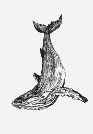 Baleine à bosse vecteur dessiné à la main. Illustration de gravure de croquis Vecteurs