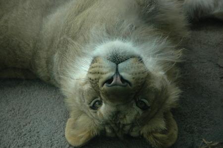 chilling: Lion chilling,