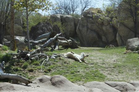 sunning: lion sunning on back