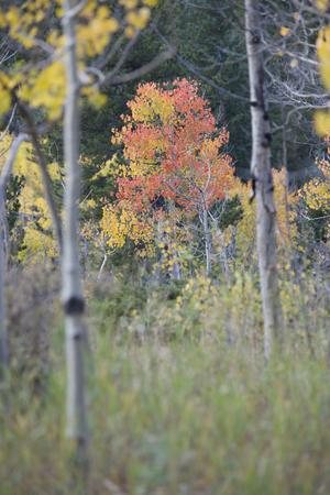 aspen tree: Aspen tree in fall